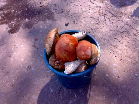 За 1 час собираем ведро грибов