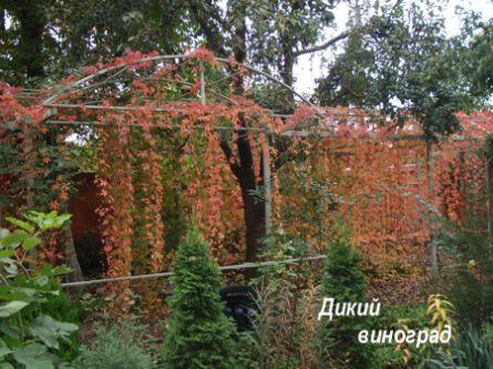 Вьющиеся растения с пушистыми цветами