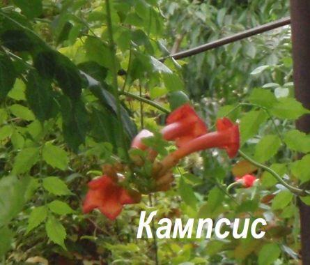 Циннии  посадка уход виды и сорта Выращивание Цветы