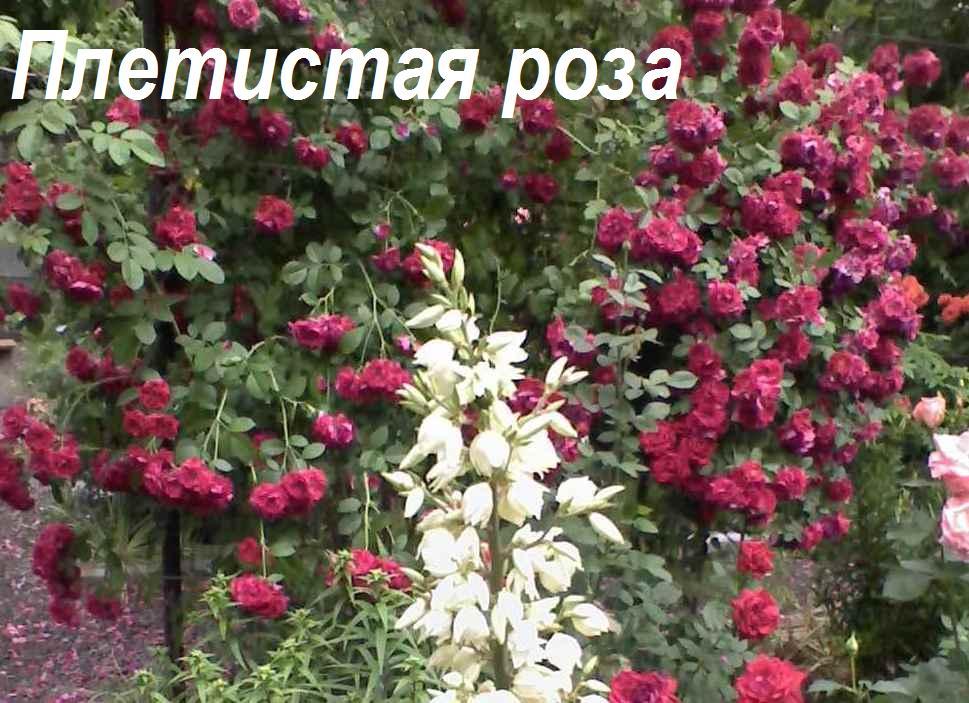 Вьющиеся растения в вашем саду