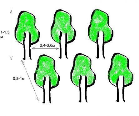 Расстояние между саженцами в стриженной средней изгороди