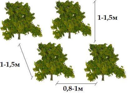 Расстояние между саженцами в свободно растущей средней изгороди